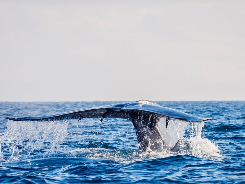 Whale watching Mirissa is one of the best things to do in the South Sri Lanka